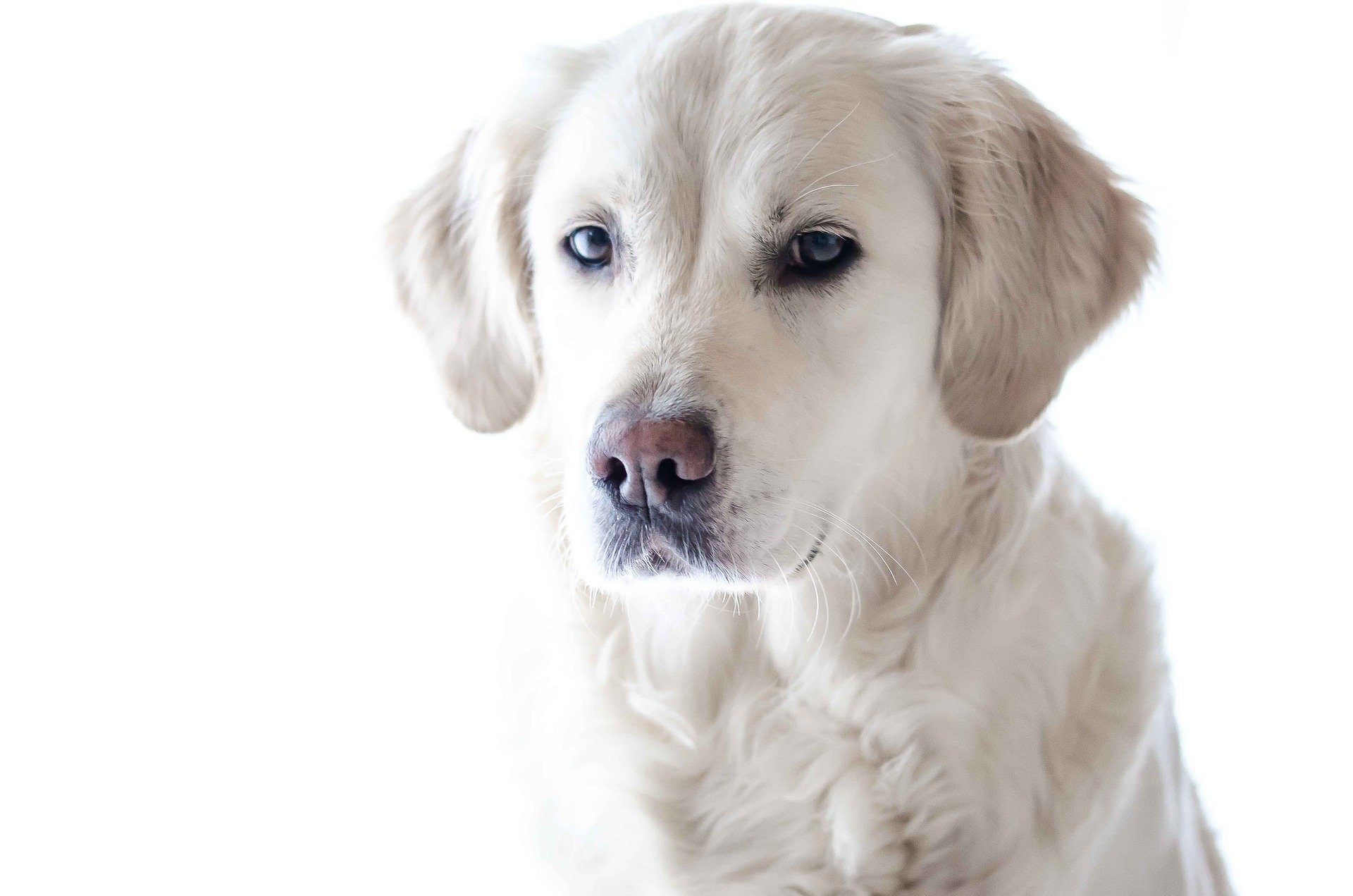 Alimentos prohibidos perros labrador retrivier
