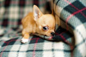 Alimentos prohibidos para perros chihuahua